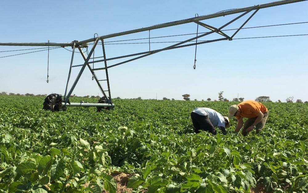 Pivot irrigateur potatoes